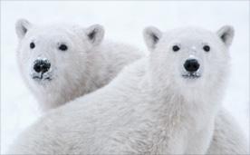 북극의 눈물 썸네일 이미지